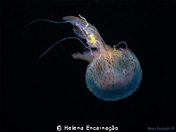 Pelagia noctiluca, a untouchable beauty.